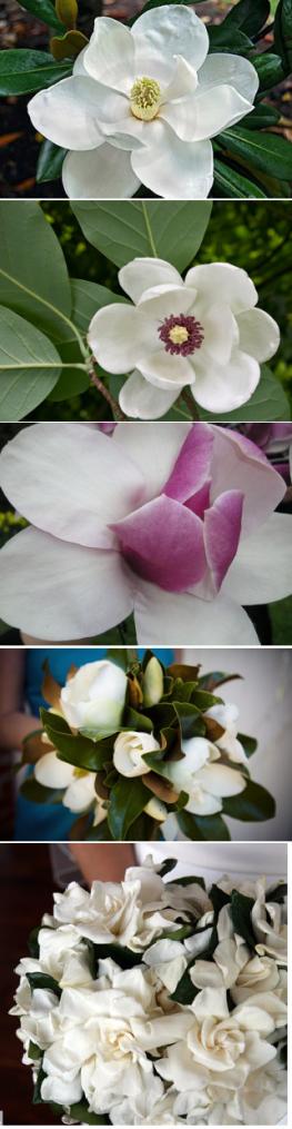 magnolia_