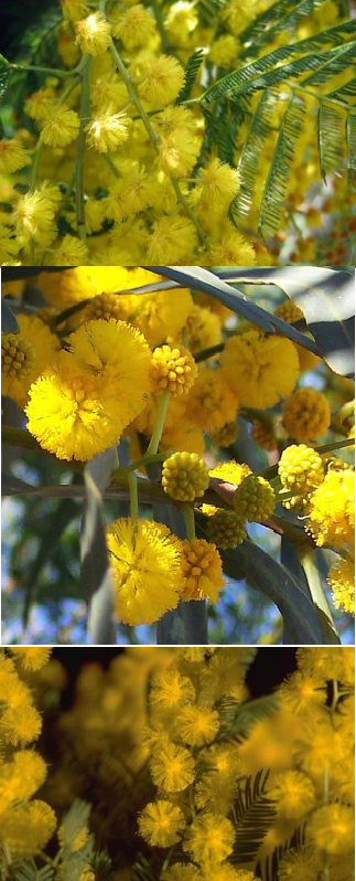 mimosa__