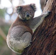 220px-koala_climbing_tree